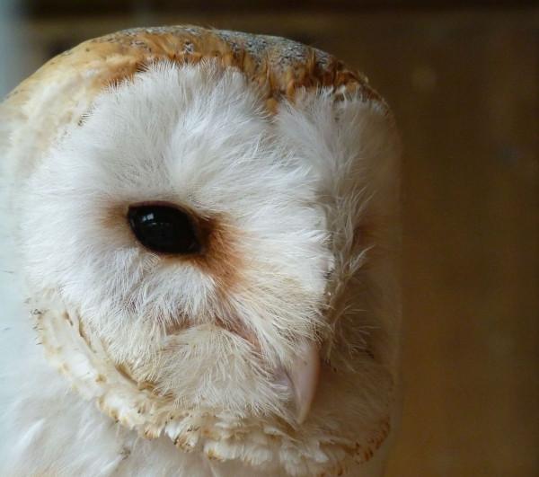"130519Barn Owl, Fletcher""s"