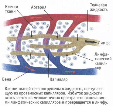 проведение лимфы от тканей