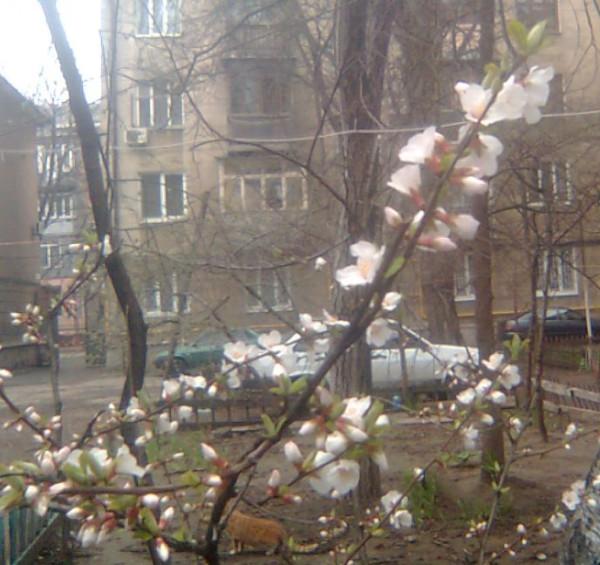 Цвет вишня 28 марта