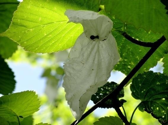 Давидия Голубиное дерево ...дерево носовых платочков Davidia involucrata