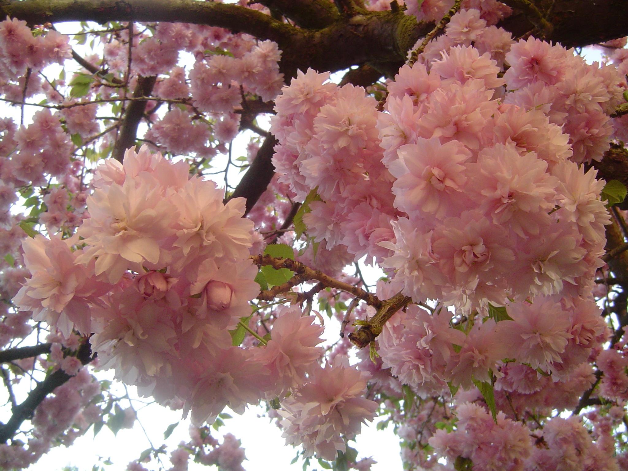 Вишни в цвету мои фотографии