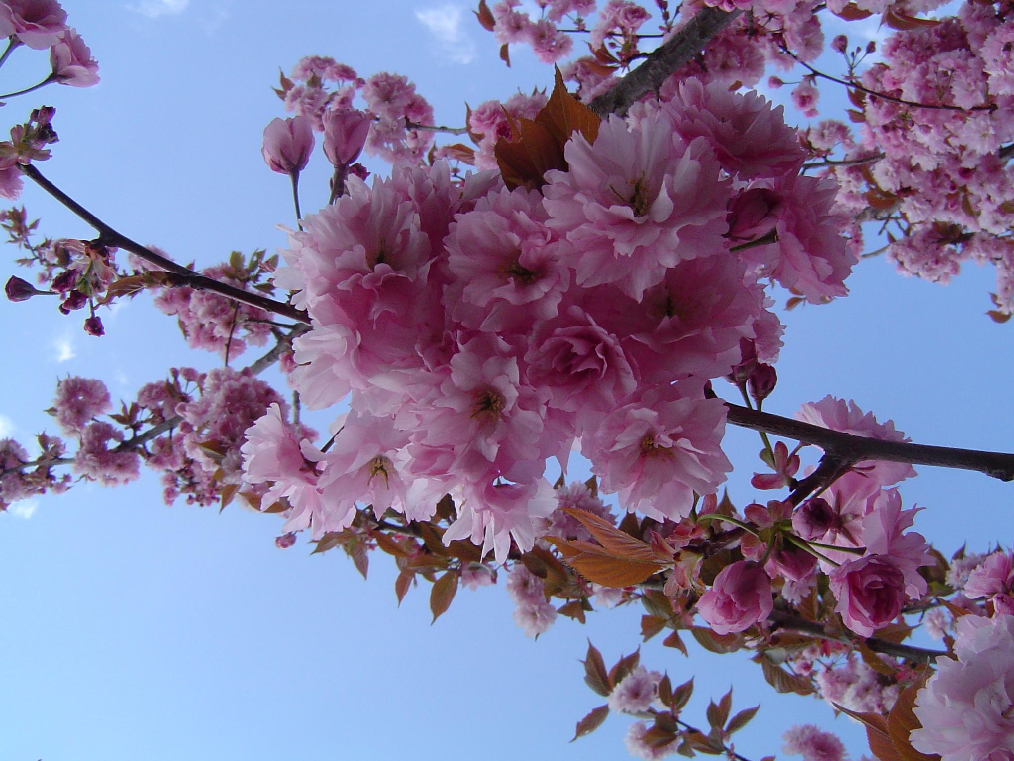 Вишни в цвету. мои фото