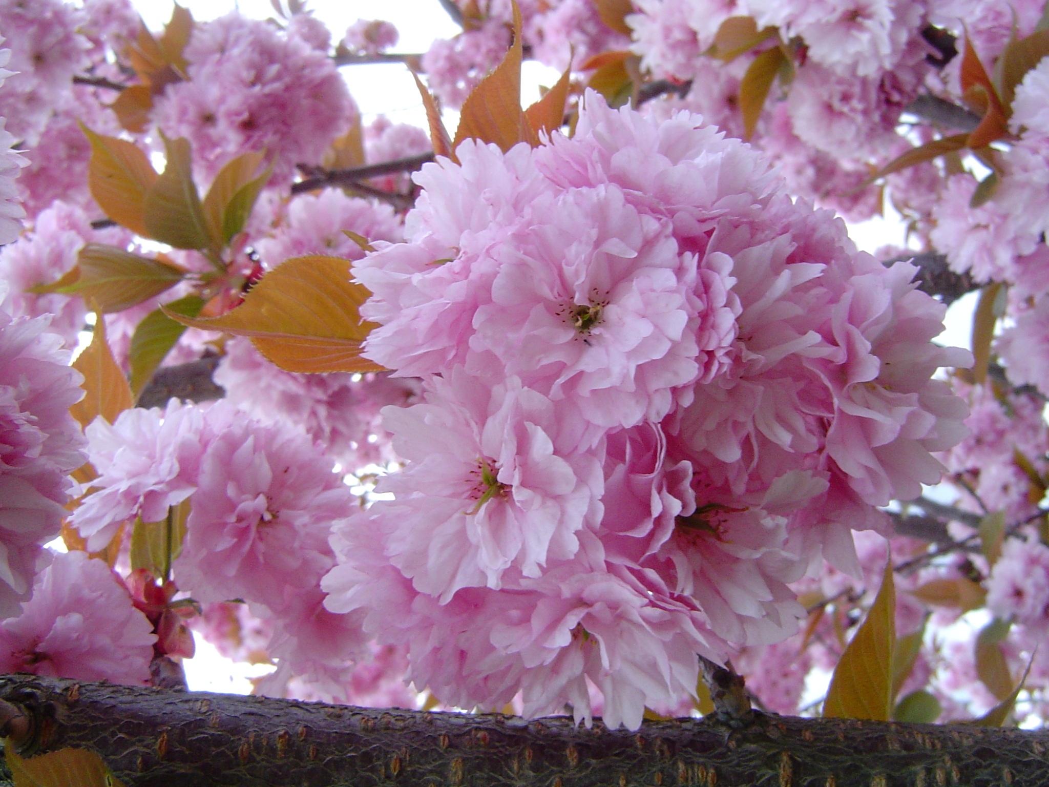 Цветущая вишня стихи о весне.