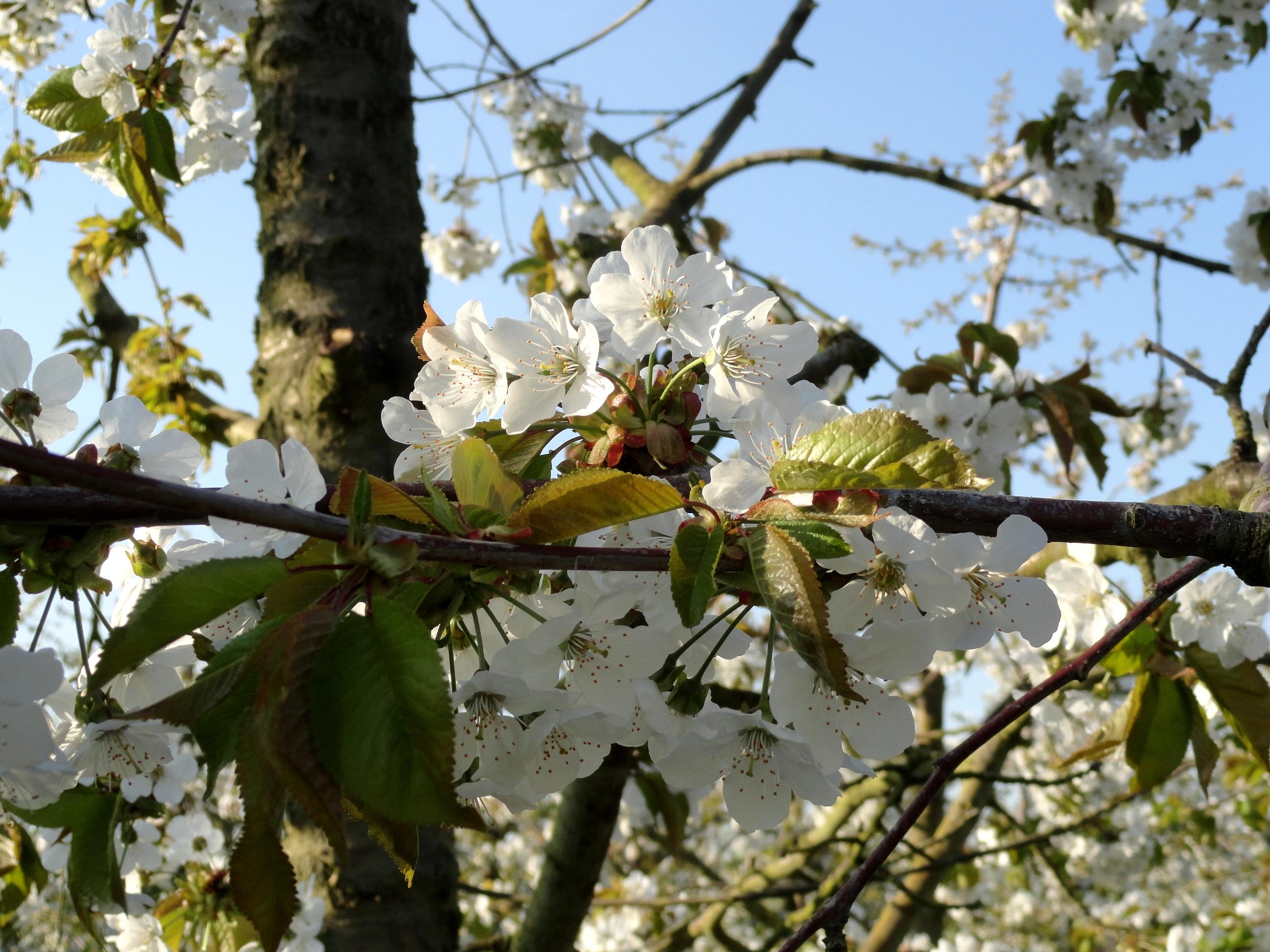 сады весна цветущая слива