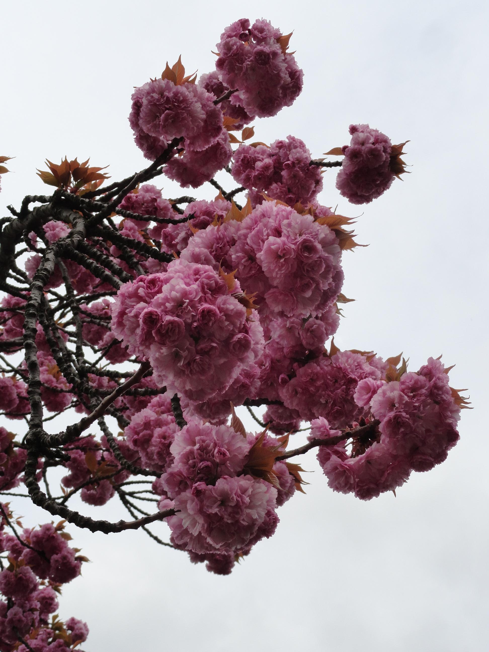 сакура весна апрель