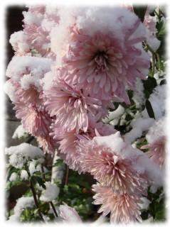 хризантемы в снегу. цветы. стихи. Осень.
