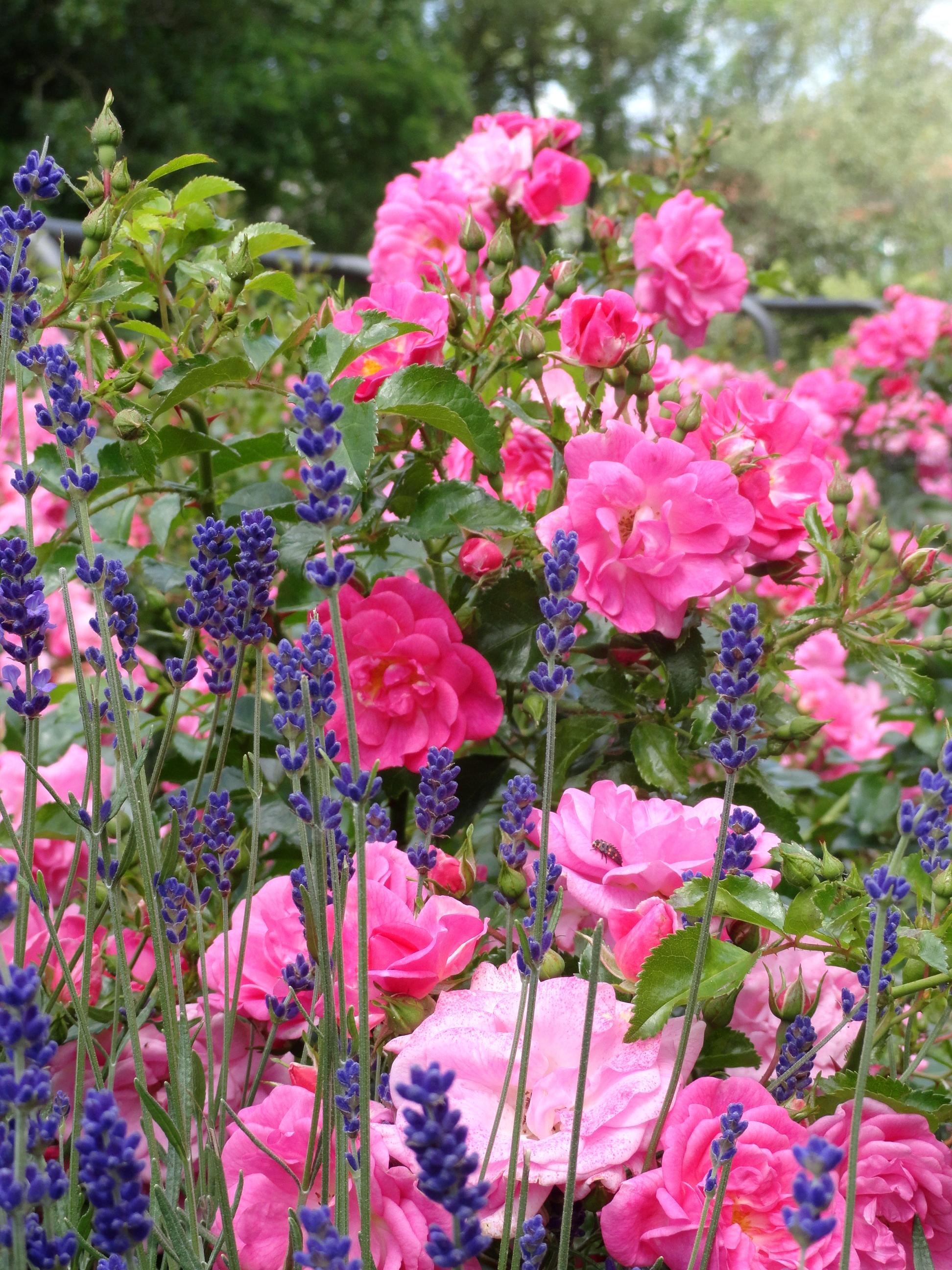 лаванда розы