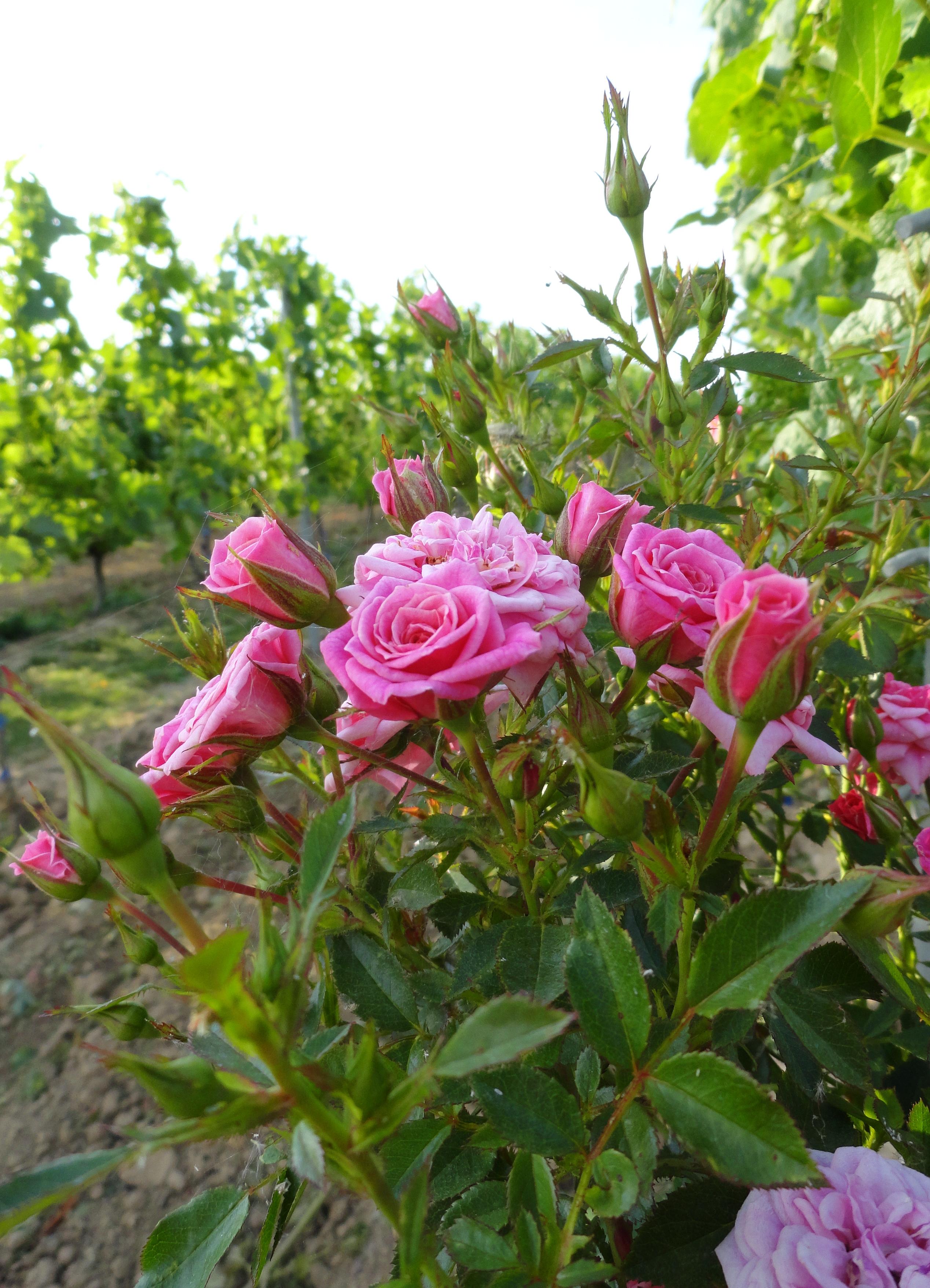 розовый куст в виноградниках