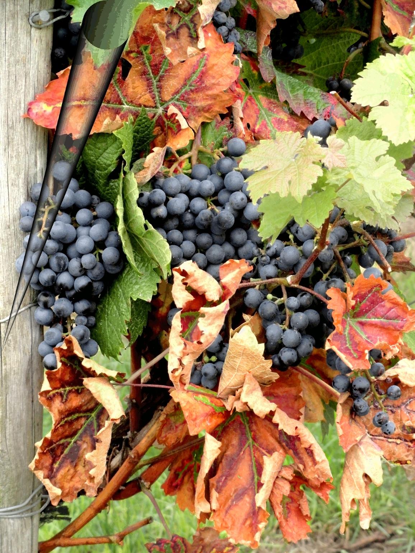 виноград виноградники осень осеннее