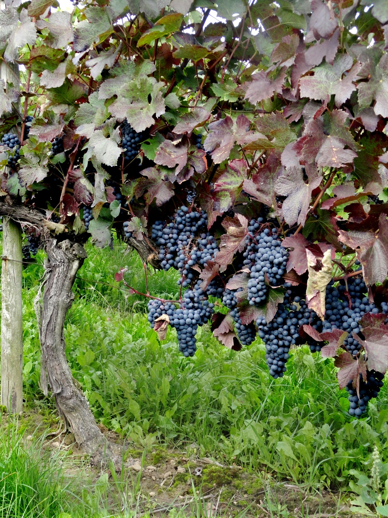 виноградники виноградные гроздья