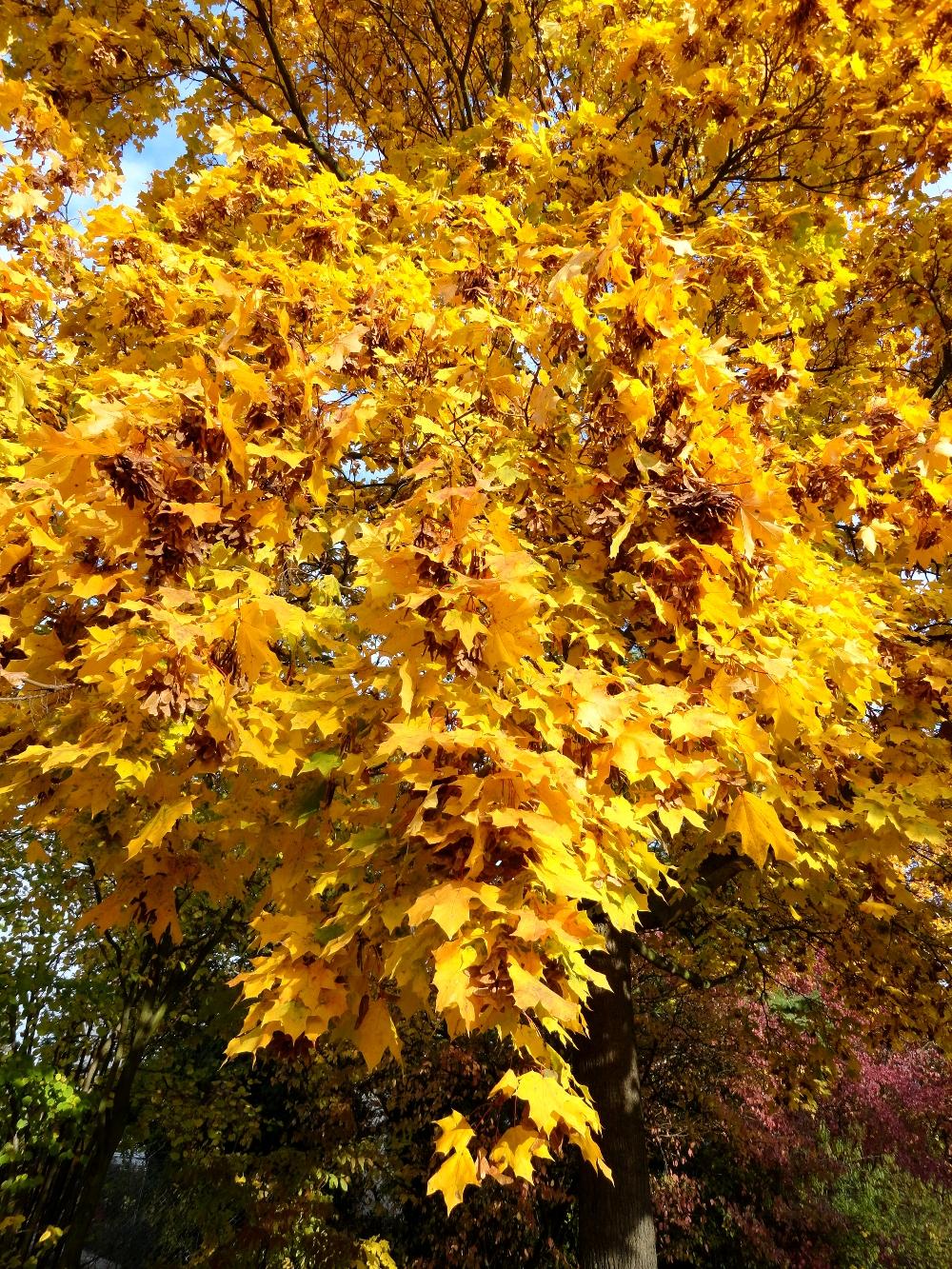 осень клён стихи об осени
