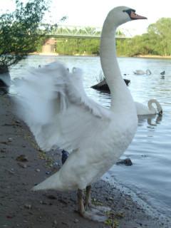 лебедь взмах крыла