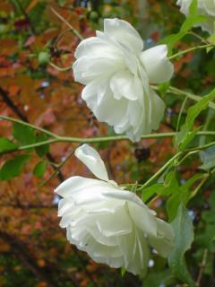 белый шиповник на фоне осенних листьев