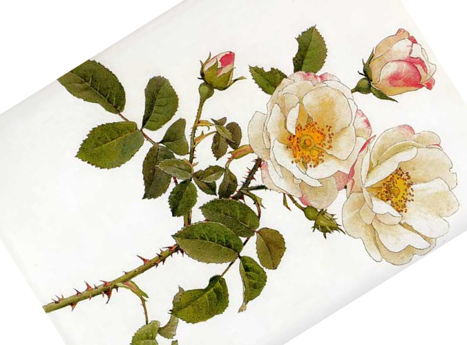 Rosa damascena rubrotincta_Alfred Parsons(1847_1920