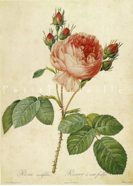 Pierre-Joseph Redouté (1759 –1840)_Cabbage Rose_Rosa Centifolia L. Major.