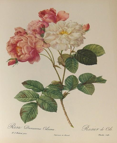 Rosa damascena Celsiana, watercolor by Pierre-Joseph Redouté