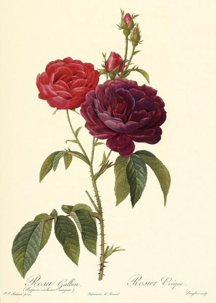 Rosa gallica Evêque, painted by Redouté