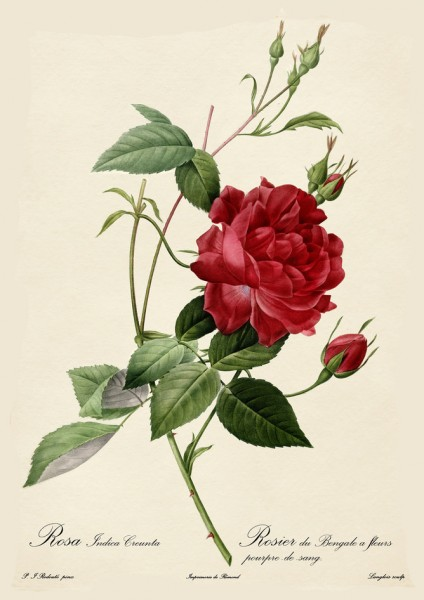 Rosa indica cruenta (blood-red Bengal rose), engraved by Langlois, from Les Roses