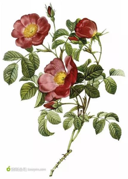 Rosa Pumila; Rosier d'Amour