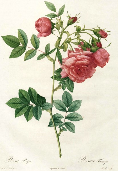 Rosa Rapa_Le Rosier Turneps