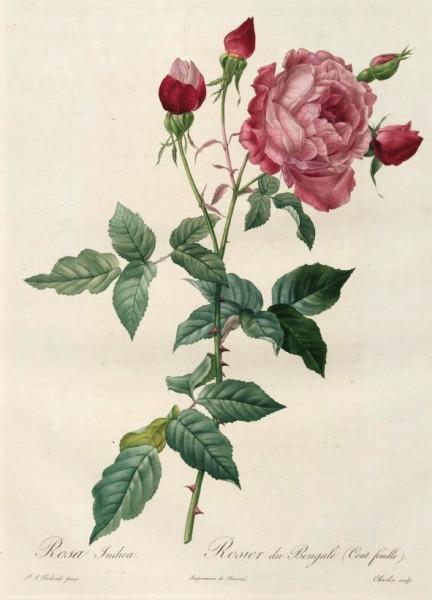Rosa Indica Le Rosier du Bengale