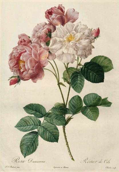 Rosa damascena Celsiana_Rosier de Cels