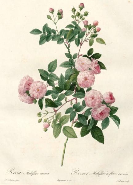 Rosa Multiflora Le Rosier Multiflore