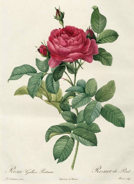 Rosa Gallica Pontiana Le Rosier D'Andre du Pont