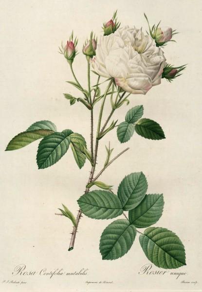 Rosa Centifolia Mutabilis_ Rosier Unique