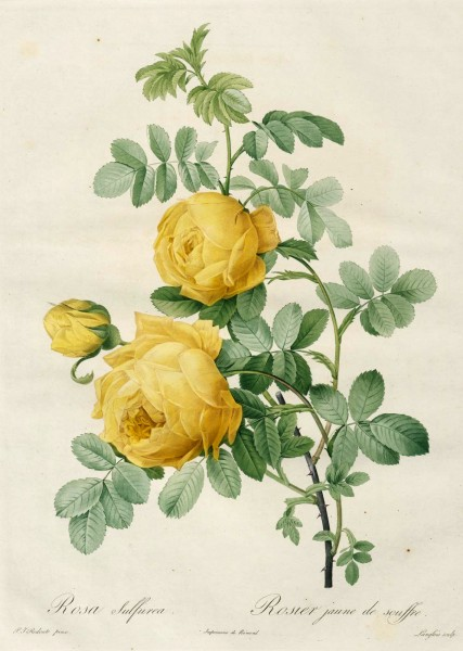 Rosa Sulfurea_Rosier a  jaune de soufre