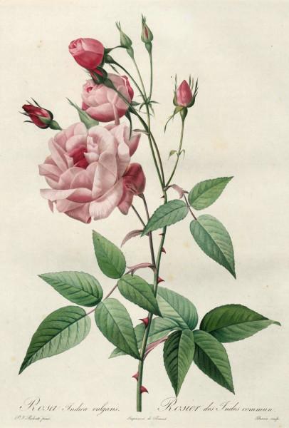 Rosa Indica vulgaris _ Rosier des Indes commun