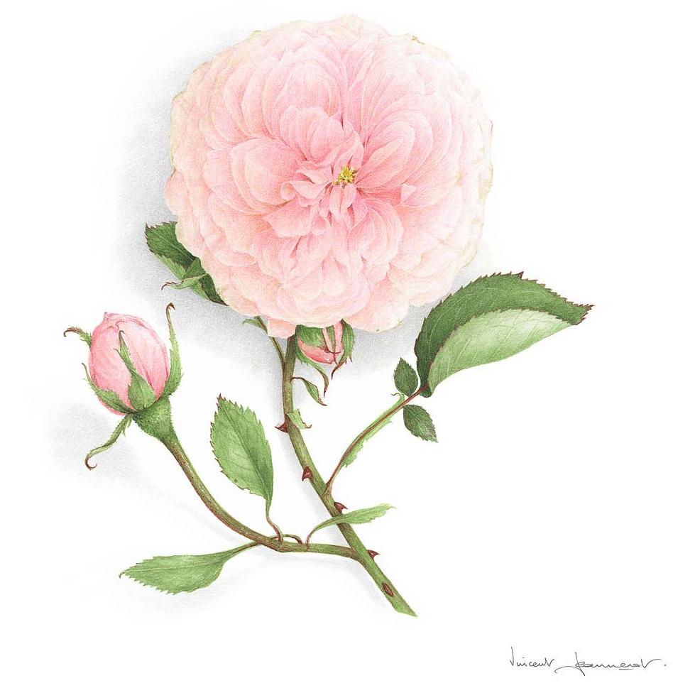 Rose_Souvenir_La_Malmaison-Aquarelle_Vincent_Jeannerot