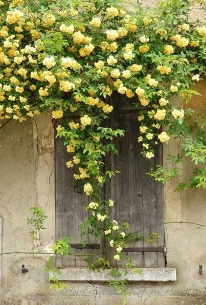 Rosa banksiae, Lady Banks' Rose