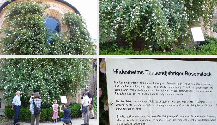 Hildesheim-Rose blüht_ndr_de_2015