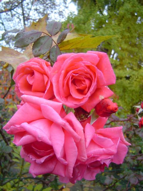 Красавица осень  Листопад Розы Дождь Стихи