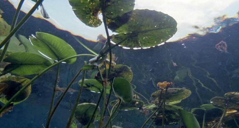 водная гладь пруда с кувшинками (вид снизу)