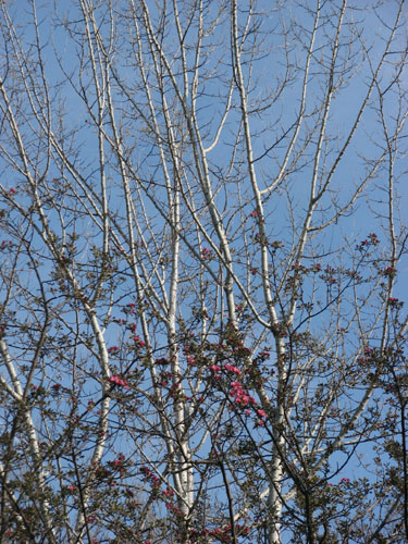 birch trees and apple blossoms