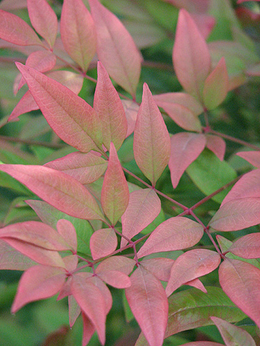 nandina leaves