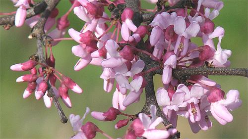 redbud blossoms