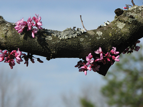 redbud and lichen
