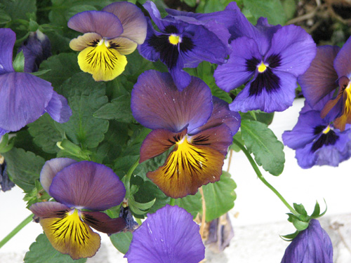 pansies in the window box