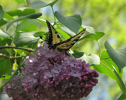 Lilac and swallowtail butterfly