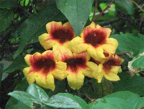 Wild trumpet flowers