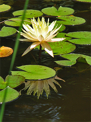 House #7 Waterlily