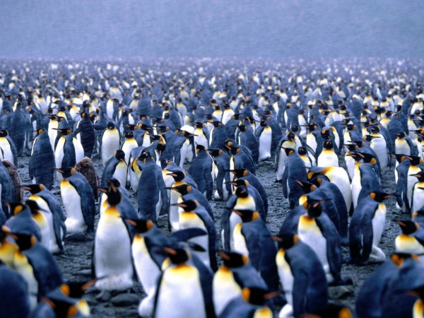 multiplicity_king_penguins