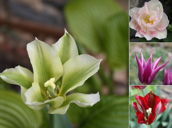 View Тюльпаны
