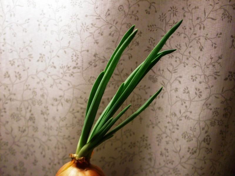 Лук зелёный, сомовыращенный — отличная добавка к весеннему меню