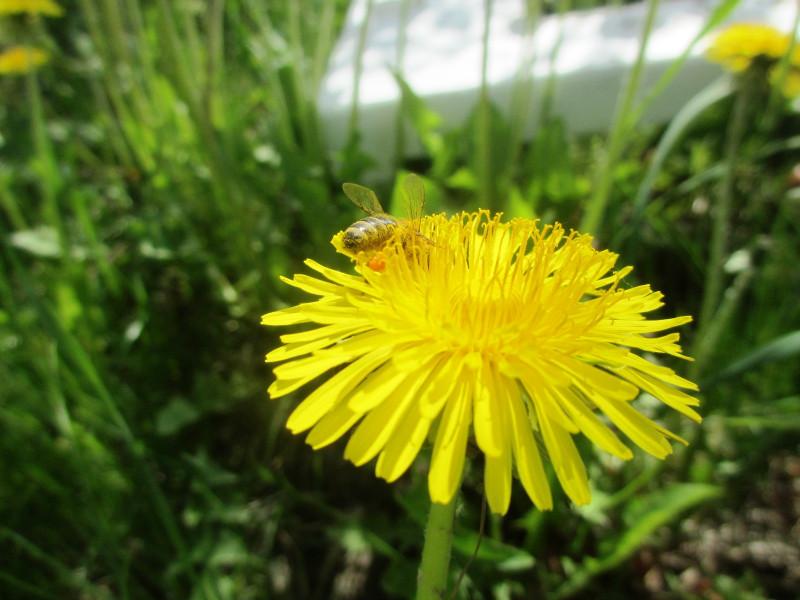 Не зря День одуванчиков и День пчёл в мае почти рядышком стоят