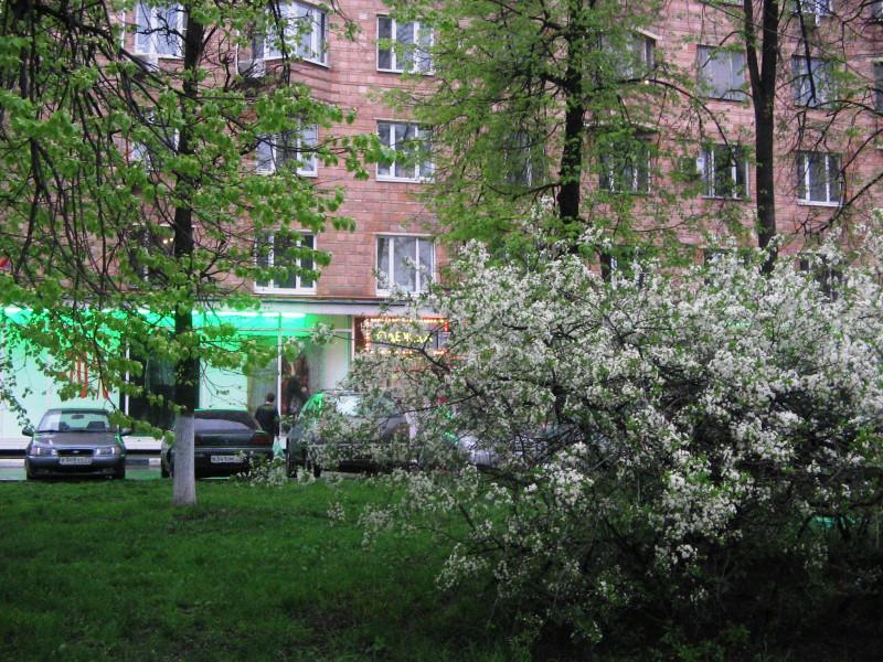 Цветущий вишнёвый куст на Ломоносовском проспекте — 8 мая 2012 20:54