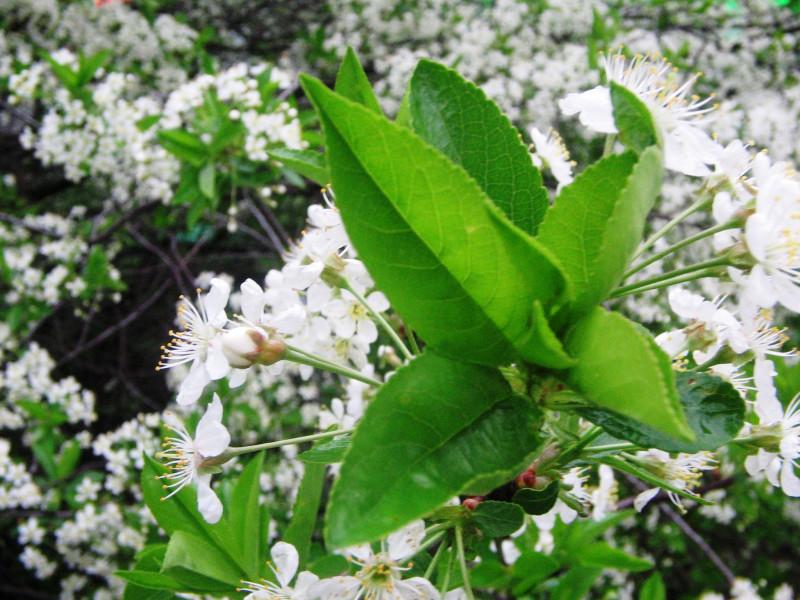 Цветение вишни на Ломоносовском проспекте — 8 мая 2012 20:54